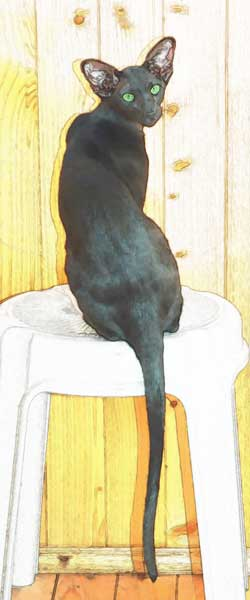 Fleur Patri Sahmet, oriental black female cat (ORI n)