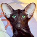 Francesca, oriental black female cat, at the age of 8 monthsв